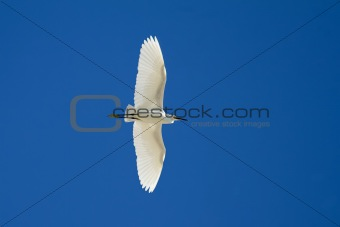 Little Egret Flying Over
