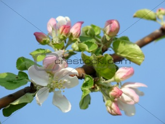A beautiful apple blossom against the blue sky