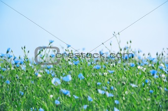 Blue and white flowers over blue sky