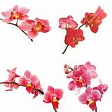 set of red orchid isolated on white