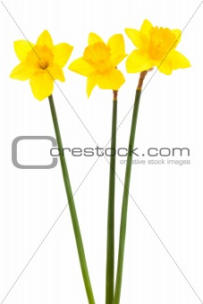 three yellow narcissus