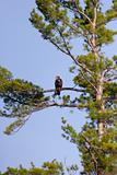 Wild Immature Bald Eagle Perched High In A Tree