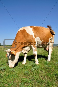 Grazing cow.