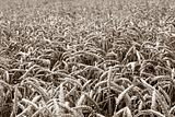 wheat plants on a field. Sepia