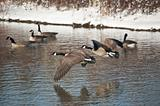 Canada Geese Flying Over a Pond