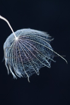 Single salsify seed