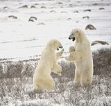 Fight of polar bears. 18