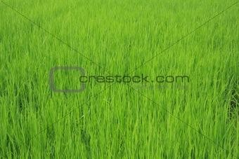 green seedling rice field