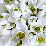 snowdrop flowers background
