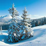 winter mountain and fir trees