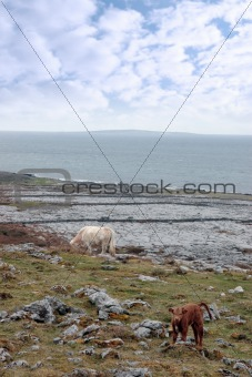 cattle grazing on the burren pasture