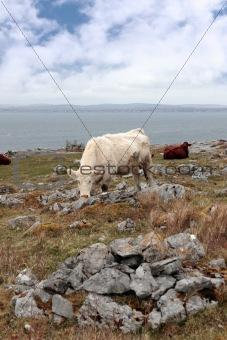 cattle grazing on the burren