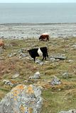 grazing cattle on the rocky burren