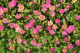 flowers purslane