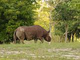 Rhinoceros in the wild