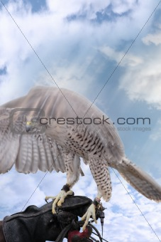 falcon lands on a gloved hand