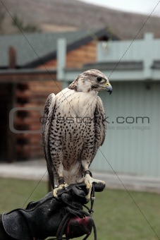 falcon perched on gloved hand