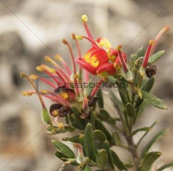 Grevillea Fireworks red flower australian native wildflower plant