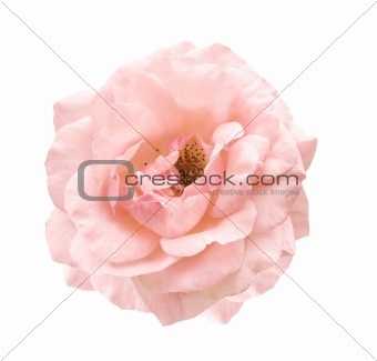pale pink rose symbol of love and affection