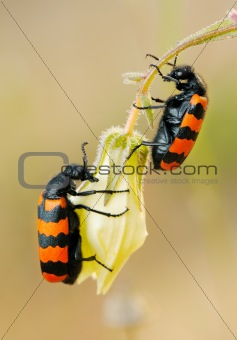 Blister beetles on a flower