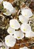 Bindweed on the sand