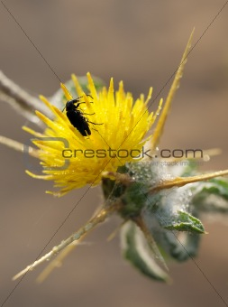 A beetle on the prickly flower.