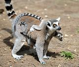 Lemurs