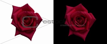 rich deep red rose isolated on black and white