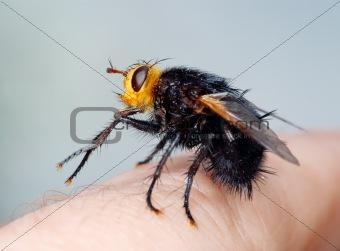 Black fly on my finger