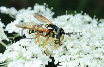 Striped fly (Syrfidae) on a flower.
