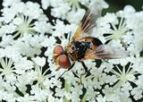 Fly Tachina on a flower