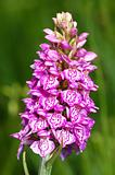 Spotted Orchis (Orchis maculata)
