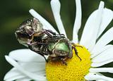 Mating rose chafer (Cetonia aurata)