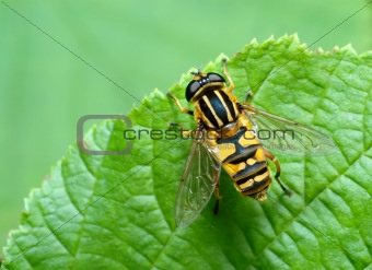 Striped fly (Syrfidae) on a leaf.