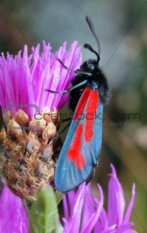 The butterfly Zygaena filipendulae