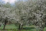 Several  blossoming apple trees