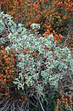 sage plant