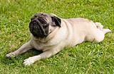 dog breed pug