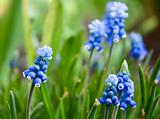 Hyacinth Muscari