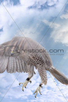 falcon on the attack