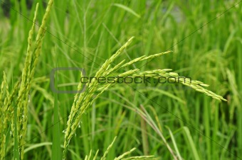Green paddy rice.