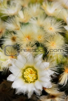 Pale yellow mammillaria flower