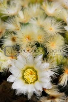 Pale yellow mammillaria flower
