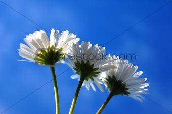 daisy under blue sky