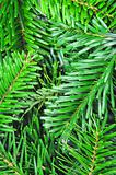 fresh green fir branch