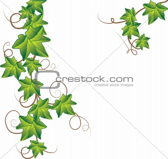 Green ivy. Vector Illustration Green ivy. Vector Illustration