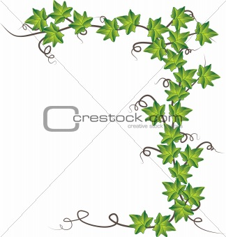 Green ivy. Vector Illustration 	Green ivy. Vector Illustration