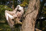 Griffon Vulture