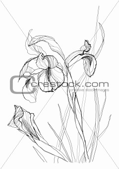 drawing irises 2