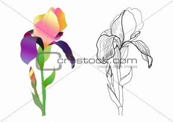 iris monochrome and colorful